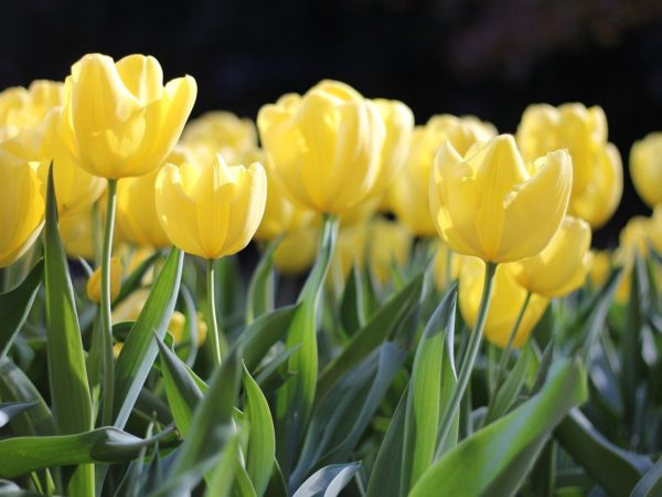 tulips, yellow, spring