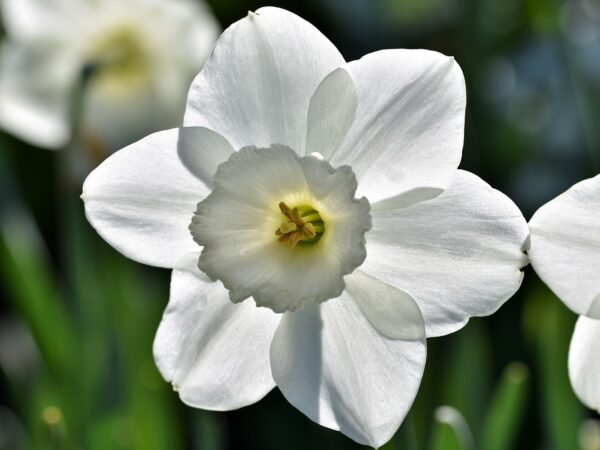 narcissus, blossom, bloom